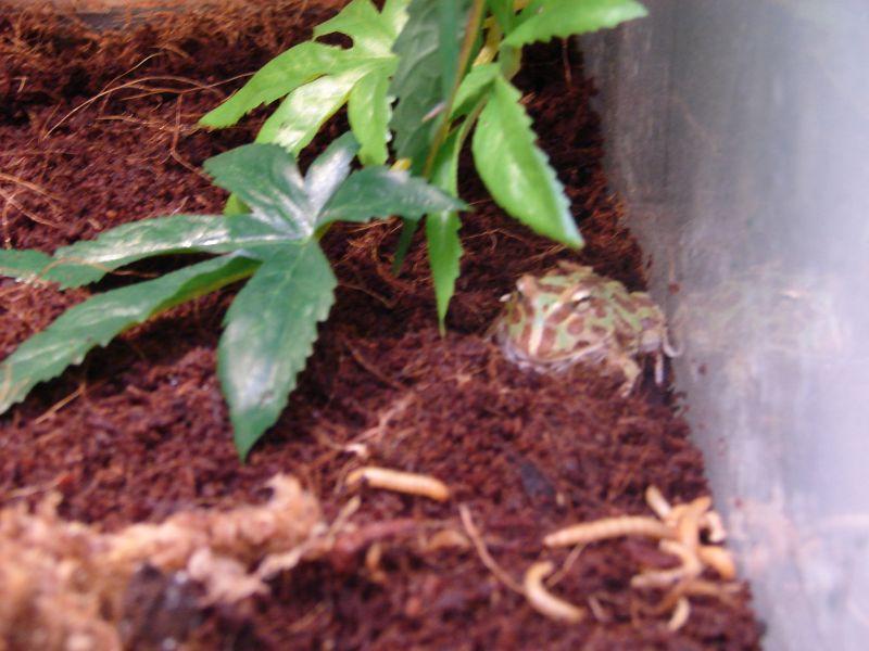 grenouilleseratophrys1.jpg