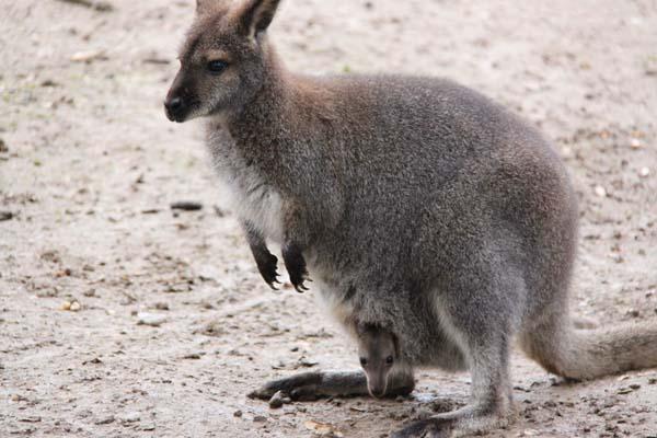 kangourouspetitetaille.jpg